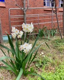 浦上教会の片隅に水仙の花