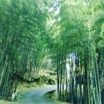 大山教会へ続く竹林